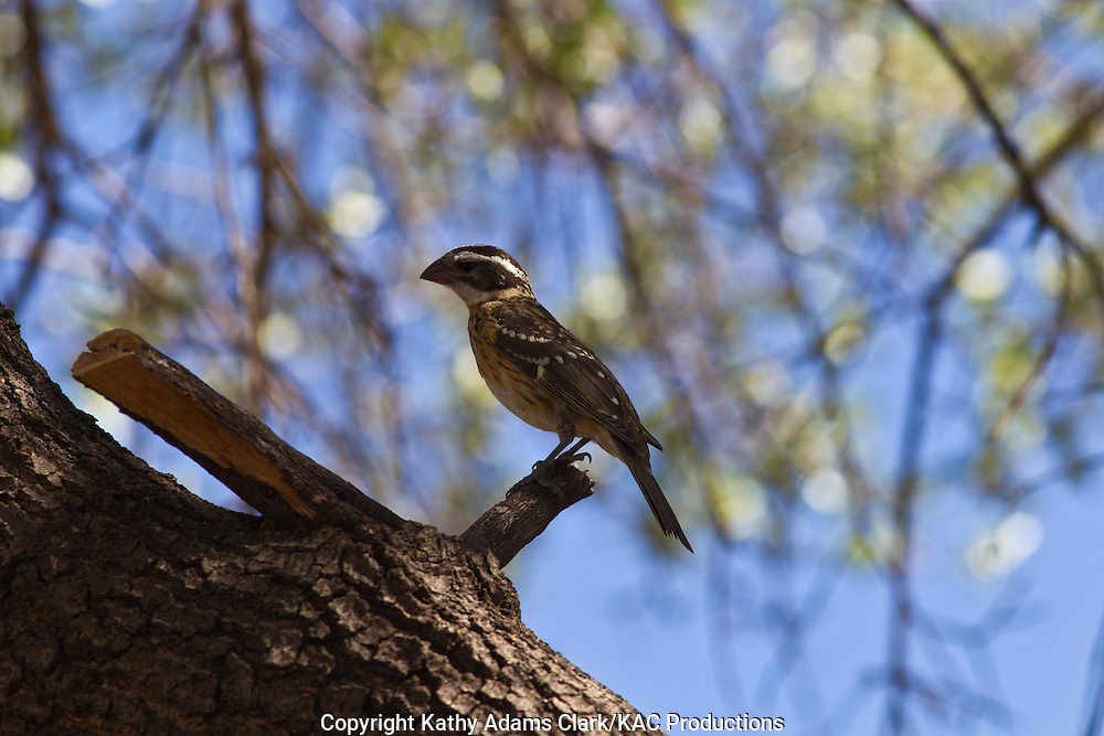 Black-headed grosbeak, female, Pheucticus melanocephalus, Marathon, Texas, west Texas,