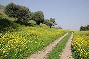 Feldweg, blühende Wiese, Olivenbäume, See Genezareth, Galiläa, Israel.|.Olive trees, flowering meadow, track, Sea of Galilee, Galilee,  Israel.