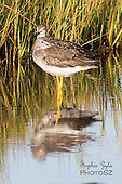 Sandpipers and Phalaropes