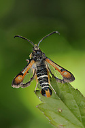 Fiery Clearwing - Pyropteron chrysidiformis