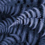 &quot;Fern in Blue&quot;<br /> <br /> Beautiful fern patterns in blue monochrome!