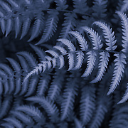 &quot;Fern in Blue&quot;<br />