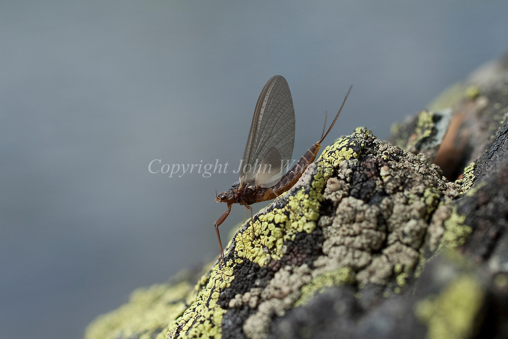 Mayfly on lichen covered rock.