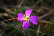 Melastomataceae (Meadow Beauties)