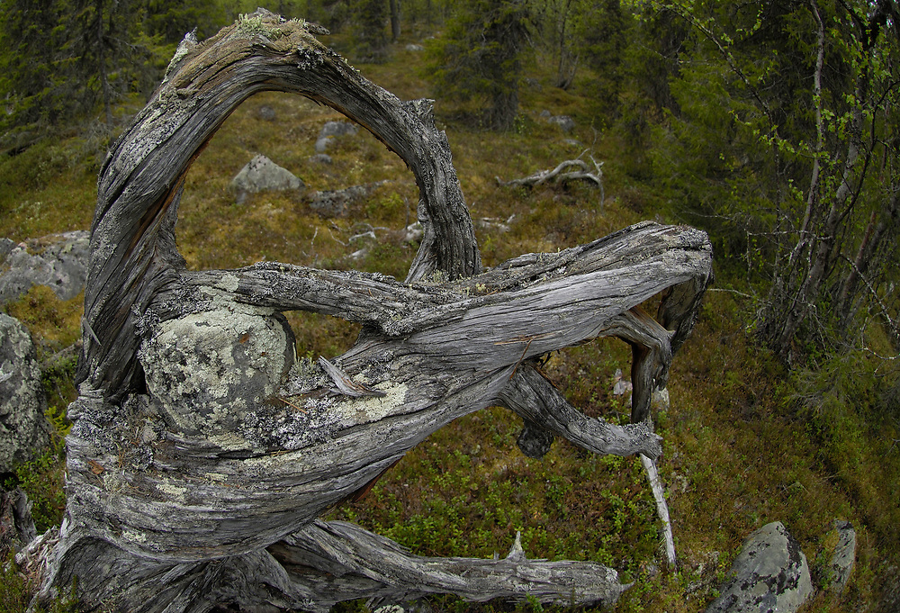 Primeaval Taiga or Boreal forest, Muddus National Park, Laponia UNESCO World Heritage Site, Lappland, Norrbotten, Sweden