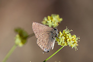 Satyrium s. saepium - Hedgerow Hairstreak