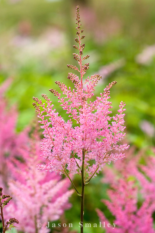 a pink astilbe in flower