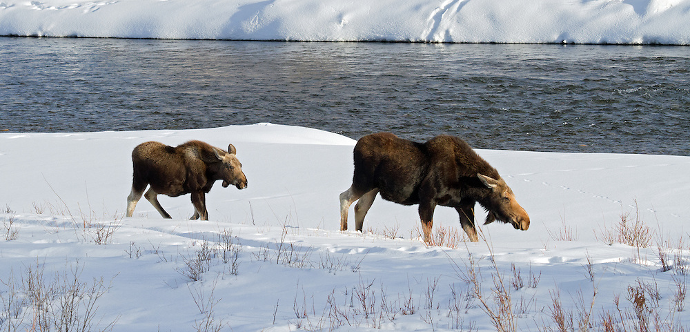 Mother moose and calf travel along the shores of the Gros Ventre River in search of edible forage. During the winter months, moose are forced to survive on dried sticks and twigs, losing a large proportion of their body weight until spring arrives.