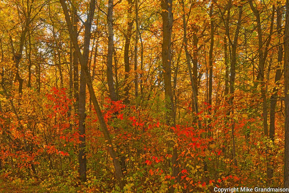 Autumn in hardwood forest. St. Vital Municipal Park.<br />Winnipeg<br />Manitoba<br />Canada