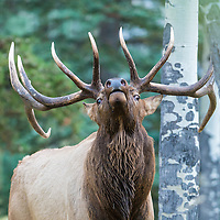 trophy bull elk bugling in forest
