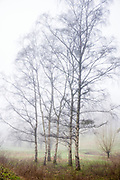 Silver Birch - Betula pendula - deciduous trees with bare branches on misty winter morning in The Cotswolds, Oxfordshire, UK