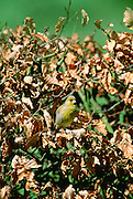 Greenfinch bird in a Beech hedge, Swinbrook, Oxfordshire, United Kingdom.