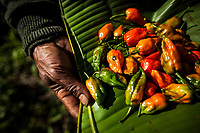A Naga chili farmer picks his crop outside of an Angami village near Kohima, in Nagaland, India. The Naga chili is the world's hottest chili, and is farmed in various areas around Nagaland. Here the farmer gathers the chilis onto banana leaves to carry them home.