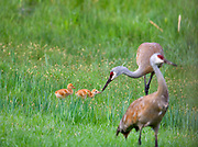 EARLY WORM | A family of sandhill cranes (Grus canadensis) on the early morning excursion through a small wetland in Scapegoat Wilderness. Male introduces 3 day old chicks to earthworms. In coming days chicks will gradually learn to forage by themselves, acquiring complete independence from parents by about six weeks of age.
