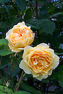 Graham Thomas - a David Austin Rose blooming in a backyard rose garden