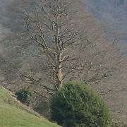Tree, Endsleigh, Devon