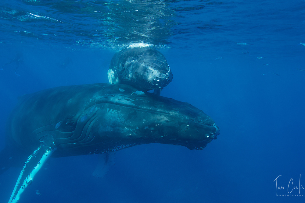 humpback whale ~ Megaptera novaeangliae ~ mother & calf ~ Silver Bank, Dominican Republic ~ www.aquaticadventures.com
