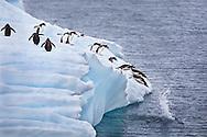 Gentoo penguins, Errera Channel, Gerlache Strait, Antarctic Peninsula / Pingüinos juanitos, Canal de Errera, Estrecho de Gerlache, Antártida