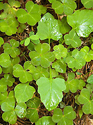 Clover Leaves, close up, California