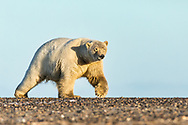 Polar Bear (Ursus maritimus) walking on barrier island along Beaufort Sea  in Kaktovik, Alaska. Autumn. Morning.