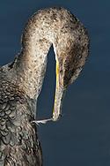 Double-crested Cormorant - Phalacrocorax auritis - juvenile preening