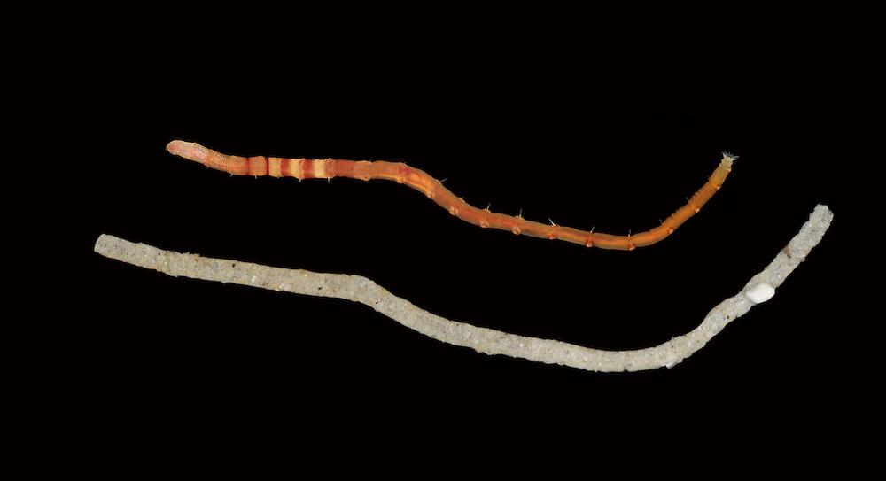 bamboo worm<br /> euclymene lumbrocoides