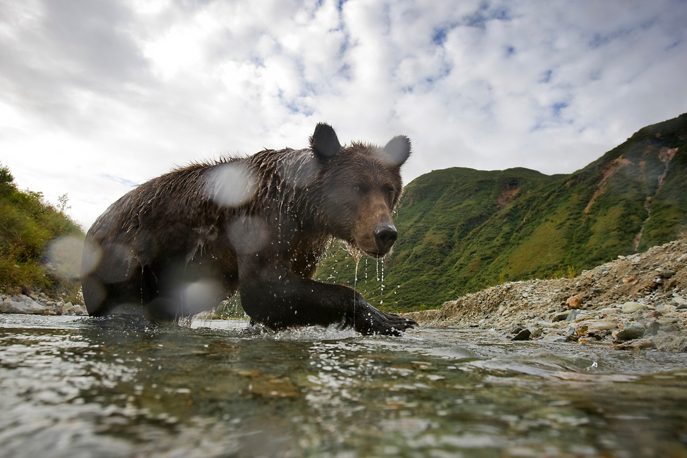 USA, Alaska, Katmai National Park, Kinak Bay, Brown Bear (Ursus arctos) standing approaches remote control camera in small stream while fishing for spawning salmon