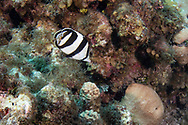 Banded Butterflyfish, Chaetodon striatus<br />