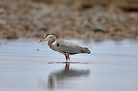 Kye Bay, Comox,  Vancouver Island, British Columbia, Canada, Great Blue Heron (Ardea herodias)   Photo: Peter Llewellyn