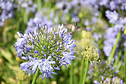 Photo hummingbird, purple flowers, matted print, wall art. Nature  photography, agapanthus plant. Westside, Venice, Los Angeles, Southern California photography. Fine art photography limited edition.