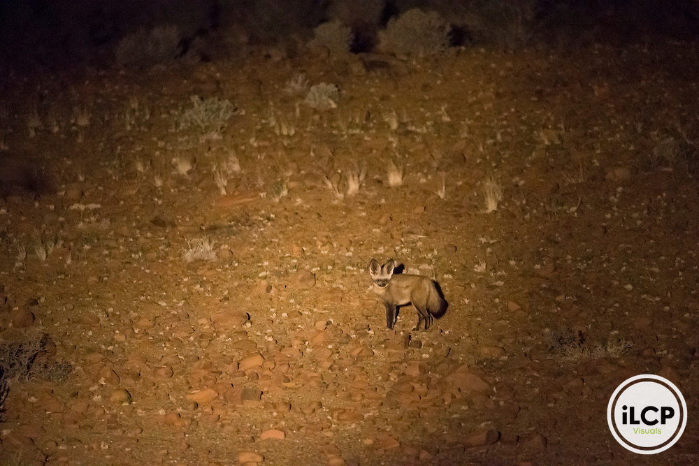 During night hunts, it is very common to find the remains of wildlife such Karoo these bat-eared fox (Otocyon megalotis), Western Cape, Karoo, South Africa / Lors des chasses nocturnes, il est très fréquent de rencontrer le reste de la faune sauvage du Karoo tels ces Otocyons (Otocyon megalotis), Western Cape, Karoo, South Africa