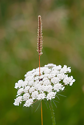 Grass pushing through Wild carrot. Daucus carota, Queen Anne's Lace