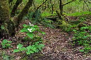 A groups of blooming Western Trillium (Trillium ovatum) plants in the vine maple forest at Campbell Valley Park in Langley, British Columbia, Canada