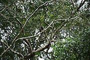 Equatorial Saki (Pithecia aequatorialis)<br /> Tiputini Biodiversity Station, Adjacent to  Yasuni National Park, Amazon Rainforest<br /> ECUADOR. South America<br /> HABITAT & RANGE: Rainforests of Ecuador and Peru