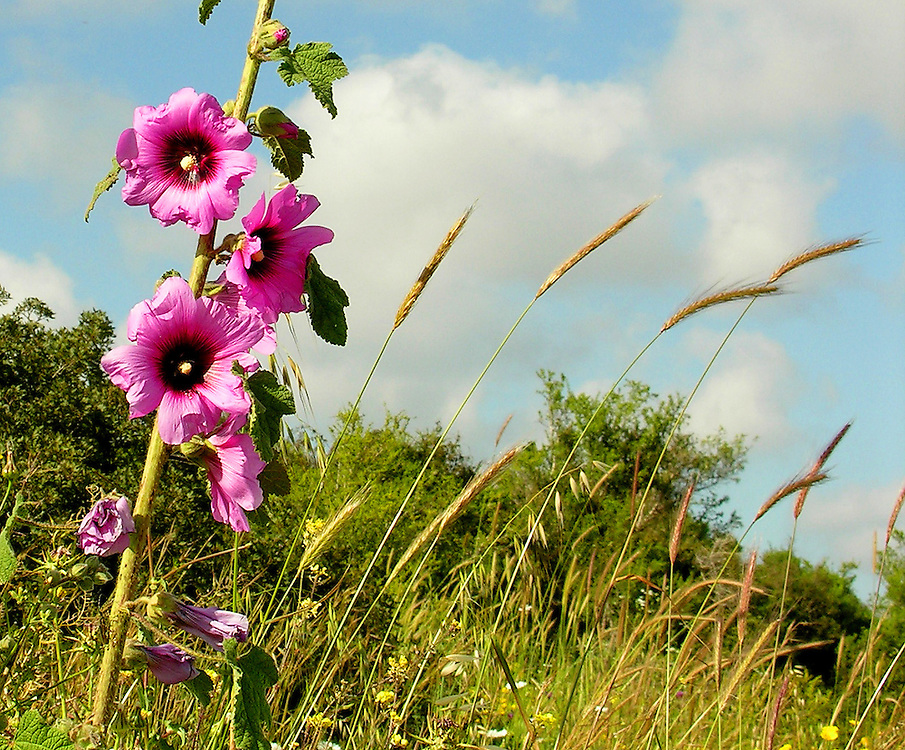 The hollyhock alcea rosea is a common Israeli flower; wild wheat is in the background.