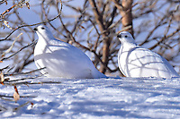 Two ptarmigan keep a close eye on the photographer