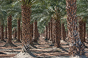 A fascinating concentration of palm trees on the way to Salton Sea in Southern California.