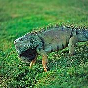 Giant iguana..Puerto Rico