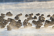 00748-05605 Canada Geese (Branta canadensis) flock on frozen lake,  Marion Co, IL