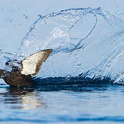 A pigeon guillemot lands on open water. Svalbard, Norway.