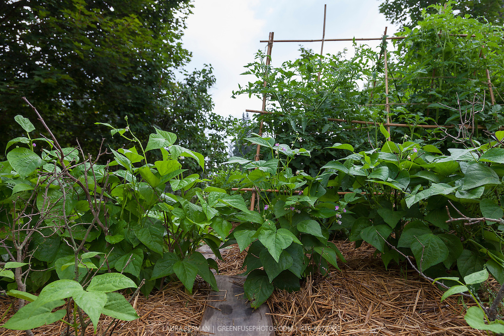 Bush beans and tomato plants in an organic kitchen garden