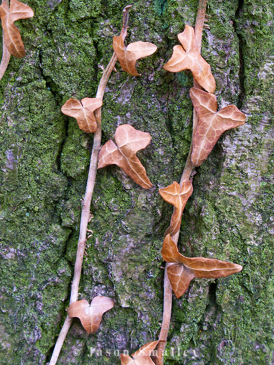 dead ivy leaves