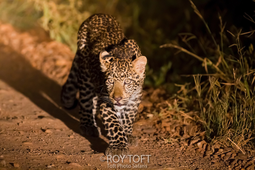 A spotlight catches a leopard walking down a dirt road at night, Zambia, Africa