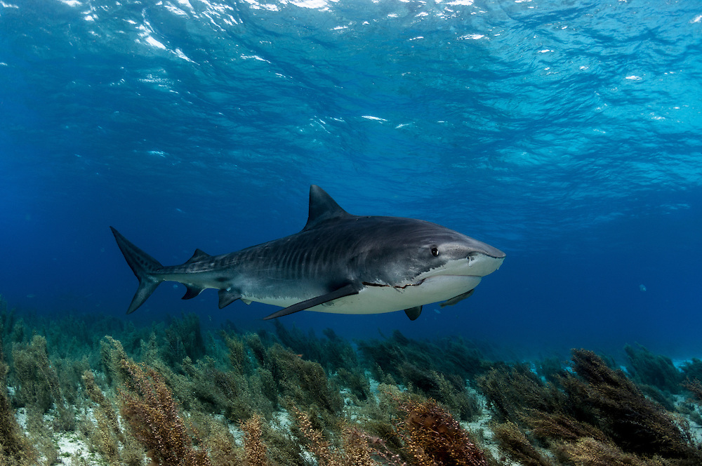 Tiger shark swimming above sea grass in the Bahamas