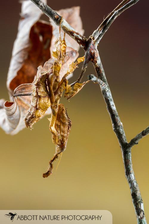 Ghost Mantis (Phyllocrania paradoxa) - female<br /> captive reared individual<br /> 11-Feb-2017<br /> J.C. Abbott &amp; K.K. Abbott