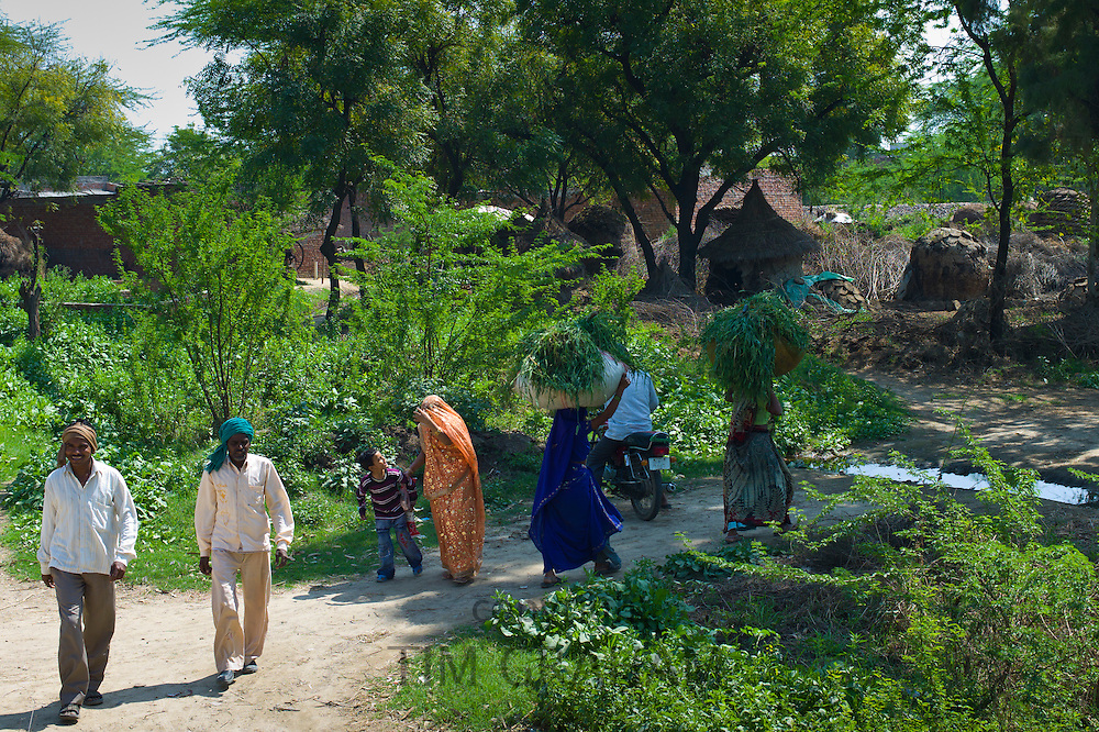 Indian women carrying fodder for animal feed back to their village after working in the fields in Agra, Uttar Pradesh, India