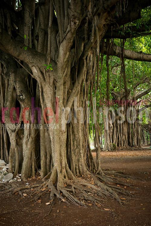 Cuba, Ficus trees