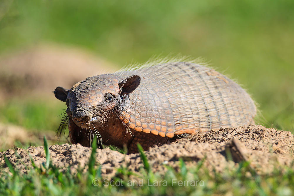 The armadillo here was found in the southern Pantanal in Brazil.  It was very comfortable with our group giving us all plenty of time to photograph.