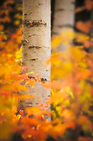 A wash of autumn color surrounds a white birch trunk in this intimate landscape from New Hampshire's White Mountain National Forest, USA