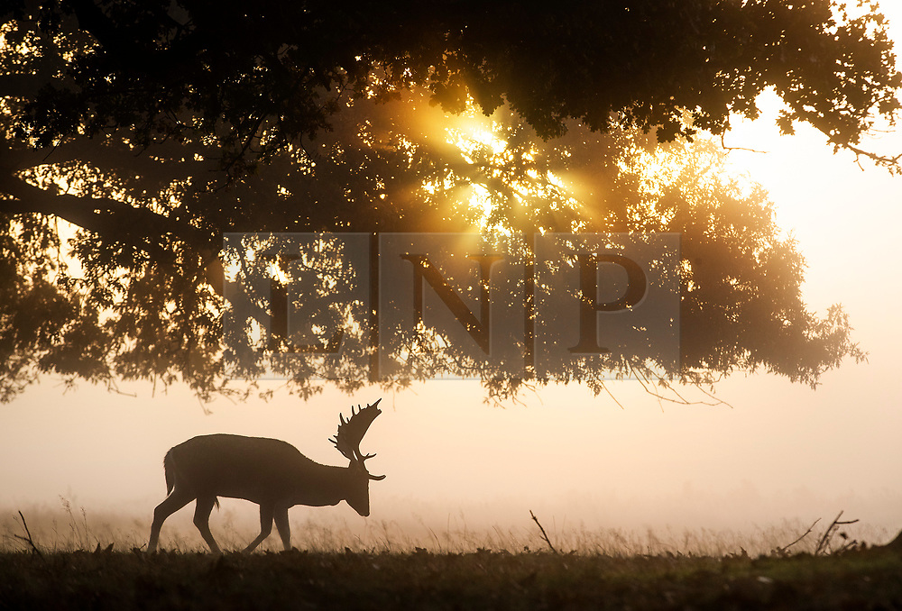 © Licensed to London News Pictures. 09/11/2019. London, UK. A deer forages in a cold and frosty Bushy Park in south west London. A cold spell is forecast in parts of the United Kingdom. Photo credit: Peter Macdiarmid/LNP